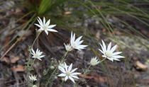 Flannel flowers in Ku-ring-gai Chase National Park. Photo: R Nicolai/OEH