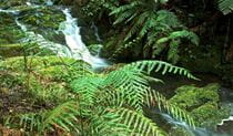 Antarctic Beech Forest track, Barrington Tops National Park. Photo: John Spencer/OEH