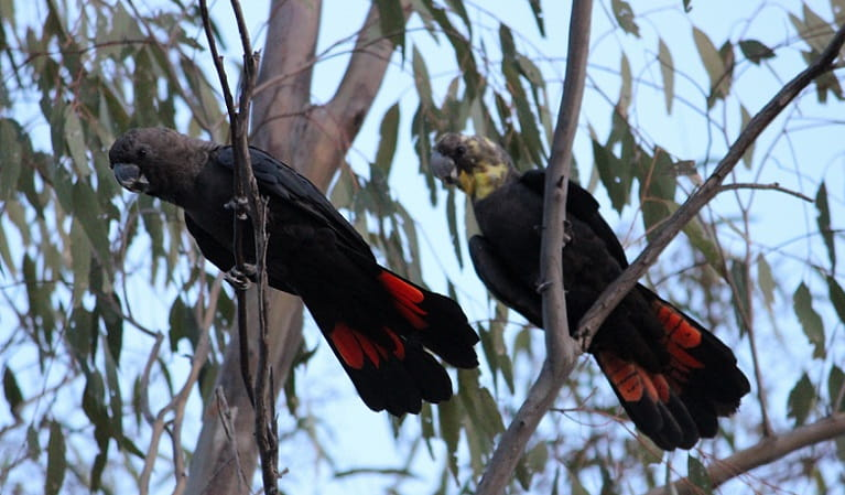 Male and female glossy black cockatoos in the trees, Pilliga National Park, 2019. Photo: Tammy Kuijpers © DPIE