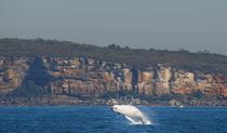 A humpback whale breaching off North Head, Sydney Harbour National Park. Photo: OEH