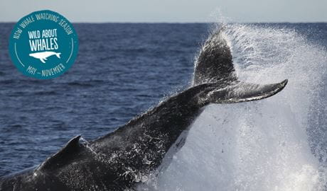 Humpback whale tail slap. Photo: J Liebschner/OEH