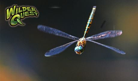 Dragonfly in flight. Photo: Gary Dunnett/OEH