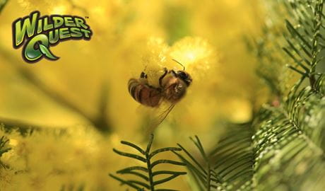 Bee in wattle flower. Photo: Rosie Nicolai