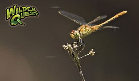 Dragonfly perching on a stick. Photo: Rosie Nicolai/OEH