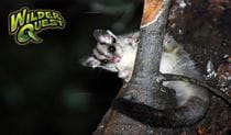 Possum resting on branch, WilderQuest Spotlight tour. Photo: Jeff Betteridge/OEH
