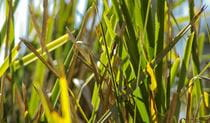Grass Photo:Emily Ingram Copyright:NSW Government