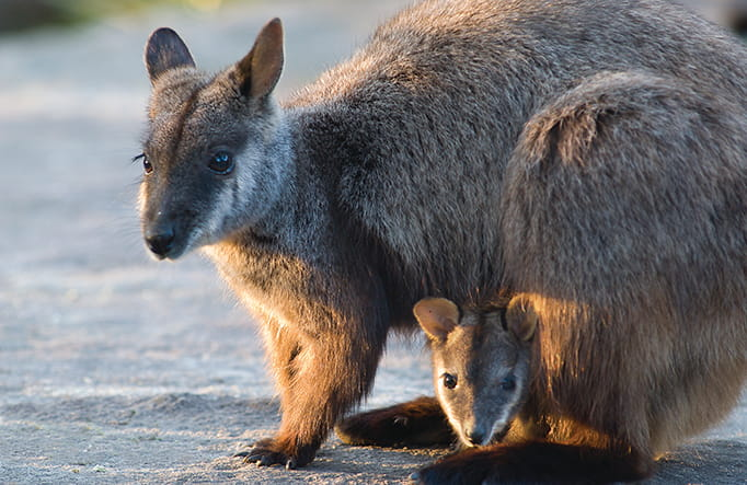 Brush-tailed rock-wallaby and her joey, Oxley Wild Rivers National Park. Photo: Michael Van Ewijk