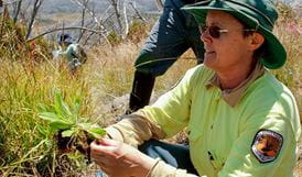 Eradication of the orange hawkweed, Kosciuszko National Park. Photo: Geoff Renn