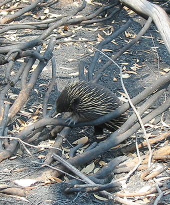 An echidna climbs over fallen branches on a fire trail in Kosciuszko National Park. Photo credit: Sean Thompson © DPIE