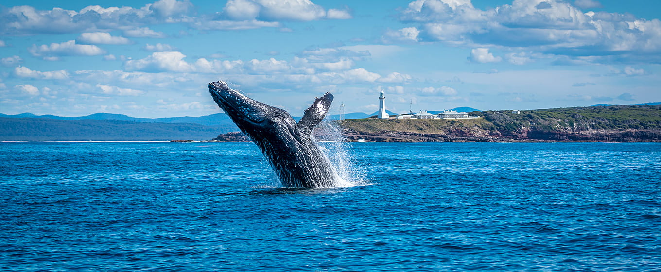 Humpback breaching off Green Cape. Photo: Scott Blanch