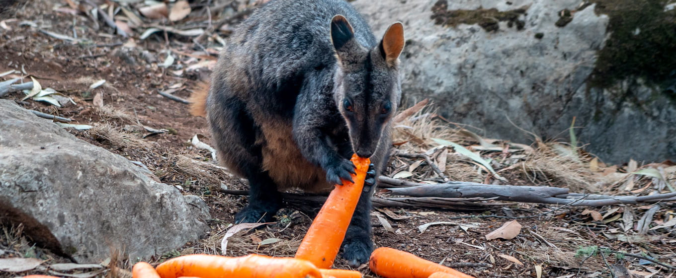 A brush-tailed rock-wallaby eating a carrot. Photo: John Spencer/DPIE