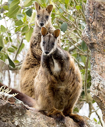 Brush-tailed rock-wallaby, Oxley Wild Rivers National Park. Photo credit: Leah Pippos © DPIE