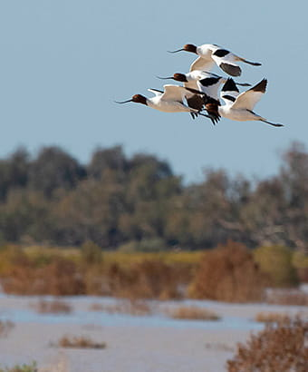 Multiple red-necked avocet birds at Peery Lake, Paroo-Darling National Park. Photo copy; Dirk Hovorka