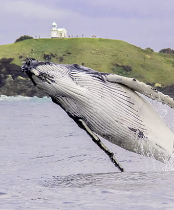 A humpback whale breaches off Tacking Point Lighthouse, Sea Acres National Park. Photo: Jodie Lowe