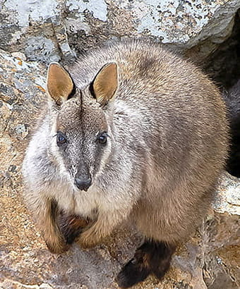 Brush-tailed rock-wallaby, Petrogale penicillata. Photo credit: Sean Leathers © DPIE