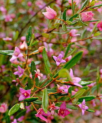 Boronia flowers in Muogamarra Nature Reserve. Photo credit: Elinor Sheargold © DPIE