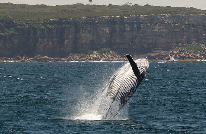 Humpback whale breaching. Photo: Paul Bieboer