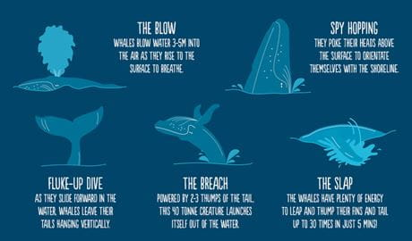 Graphic of whale facts. Artwork: OEH