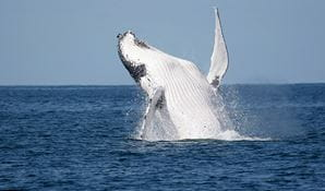 A humpback whale breaches the water off the NSW coast, near Sydney. Photo credit: Wayne Reynolds &copy Wayne Reynolds