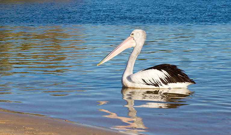 pelican australian animals nsw national parks