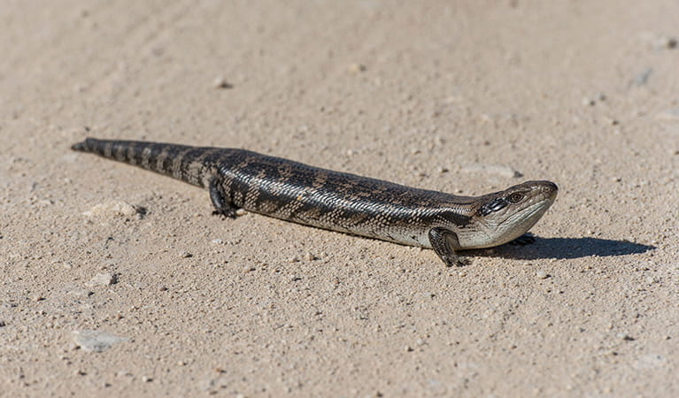 Blue-tongue lizard, Ben Boyd National Park. Photo: John Spencer