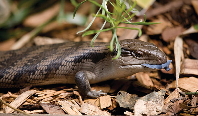 Blue Tongue lizard. Photo: Rosie Nicolai