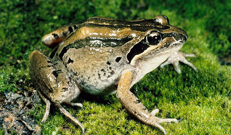 Brown striped frog. Photo: OEH