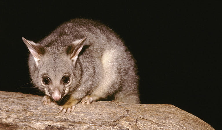 Brush tail possum. Photo: Ken Stepnell
