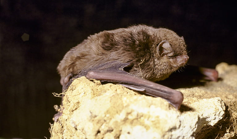 Eastern bentwing bat. Photo: Ken Stepnell