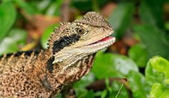 Eastern water dragon. Photo: Rosie Nicolai