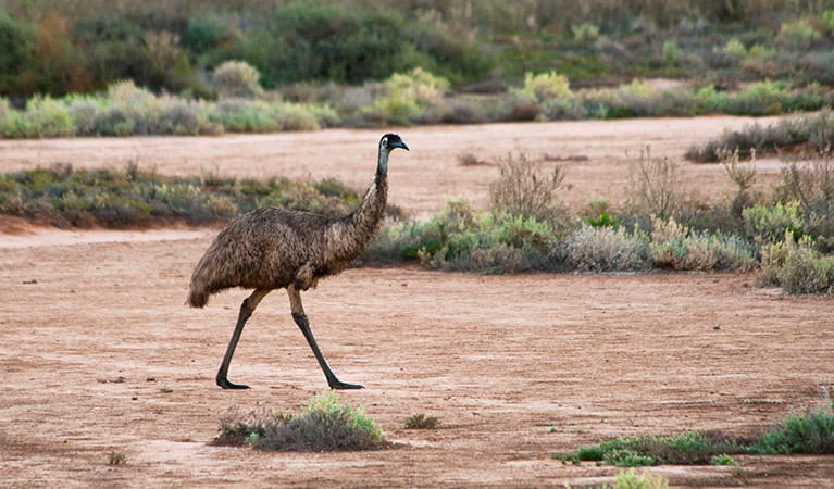 Emu, Yanga National Park. Photo: David Finnegan