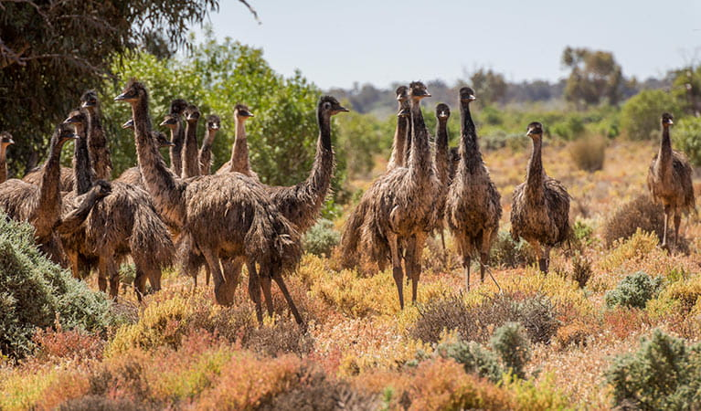 Emu, Paroo Darling National Park. Photo: John Spencer