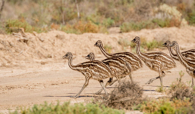 6 emu chicks crossing a dirt path. Photo: John Spencer/OEH