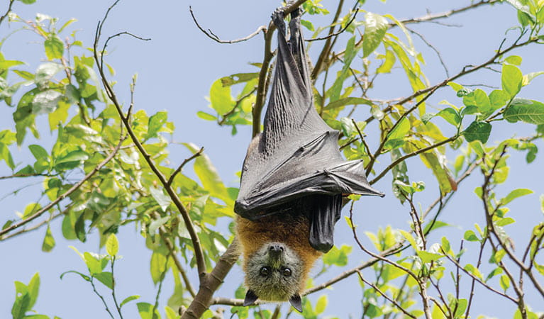 Grey headed flying fox hanging from a tree branch. Photo: Shane Ruming/OEH