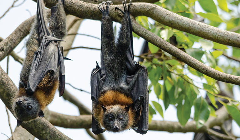 2 grey headed flying foxes hanging from tree branches. Photo: Shane Ruming/OEH
