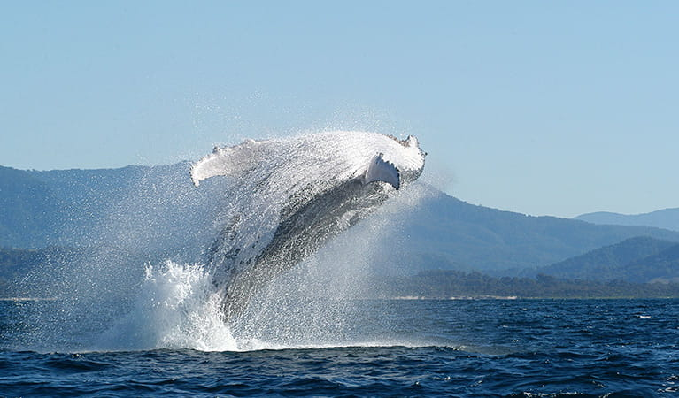Humpback whale breaching. Photo: Dan Burns