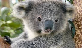 Koala (Phascolarctos cinereus) in a tree. Photo: Courtesy of Taronga Zoo/OEH