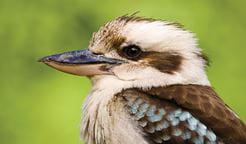 Closeup of a laughing kookaburra's head and body. Photo: Rosie Nicolai/OEH