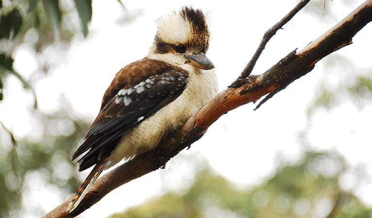 A laughing kookaburra perched on a tree branch. Photo: OEH