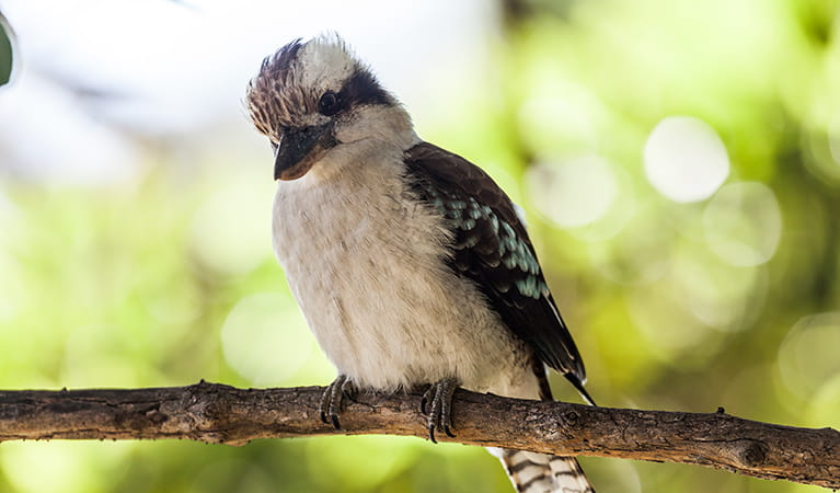 Kookaburra, Bradleys Head, Sydney Harbour National Park. Photo: David Finnegan