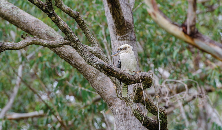 Laughing kookaburra sitting in a tree in Crowdy Bay National Park. Photo: John Spencer/OEH