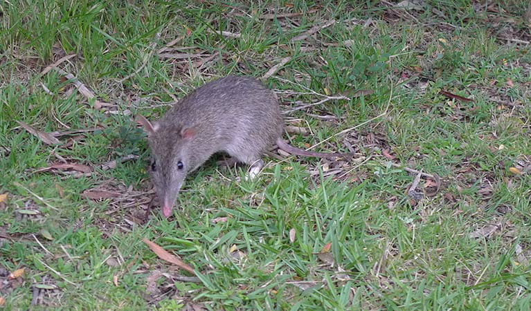 Long-nosed bandicoot, Sydney Harbour National Park. Photo: Narelle King