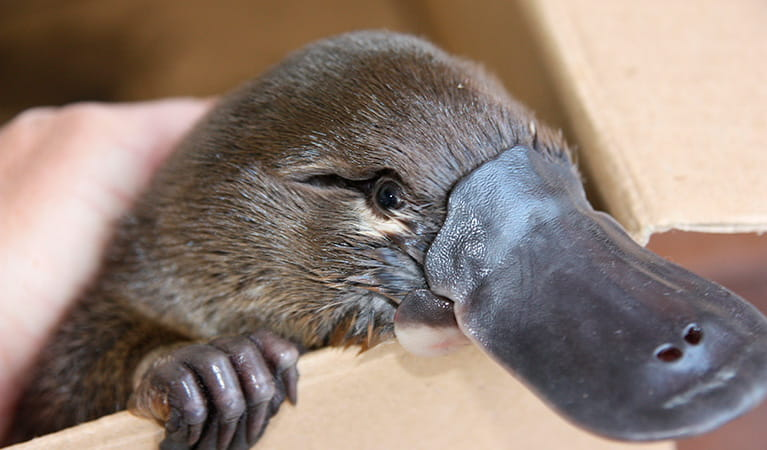 A juvenile platypus saved by National Parks and Wildlife staff. Photo: M Bannerman/OEH
