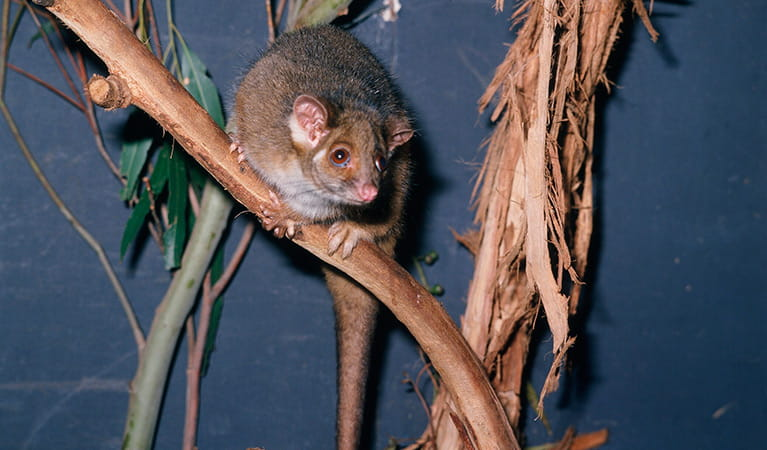 Eastern common ringtail possum. Photo: Ken Stepnell