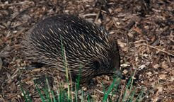 Echidna. Photo: Ken Stepnell