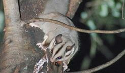 Sugar glider. Photo: Jeff Betteridge