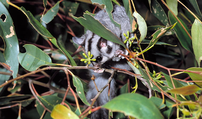 Sugar glider. Photo: Ken Stepnell