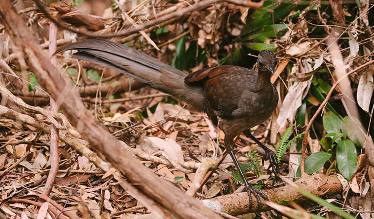 Superb lyrebird, Minnamurra Rainforest, Budderoo National Park. Photo: David Finnegan