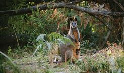 Swamp wallaby in Murramarang National Park. Photo: David Finnegan