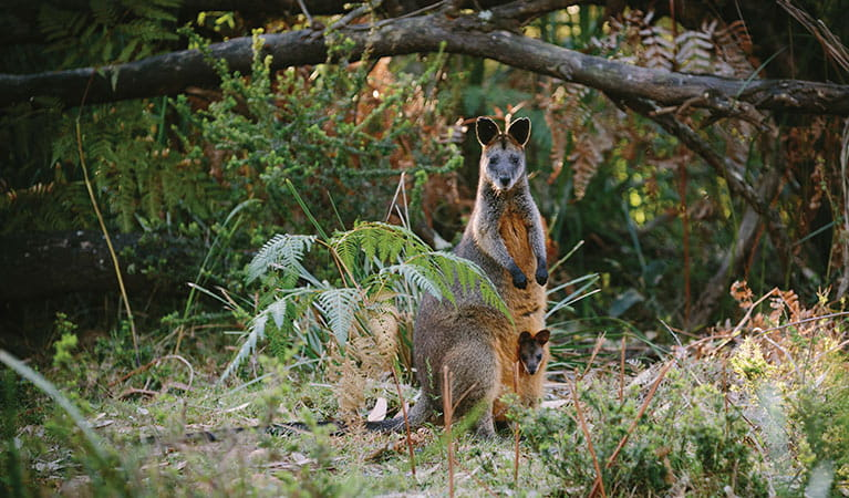 Swamp wallaby, Murramarang National Park. Photo: David Finnegan